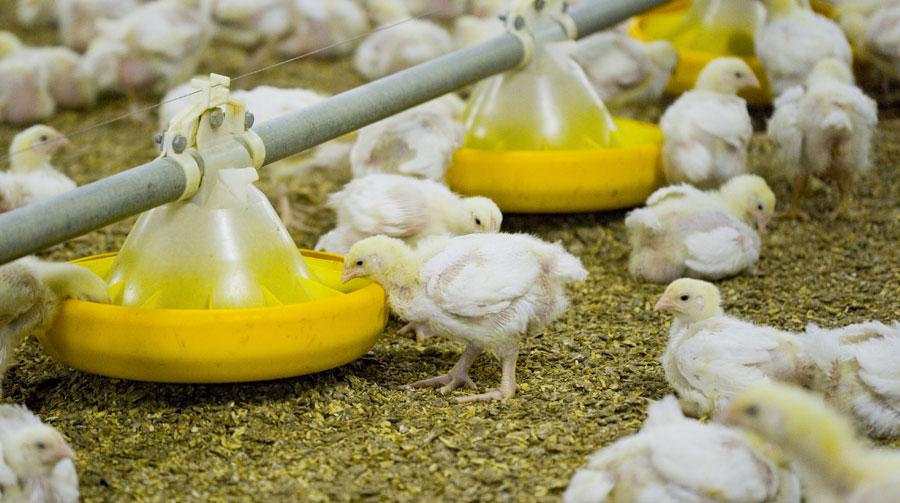 foder til kyllinger