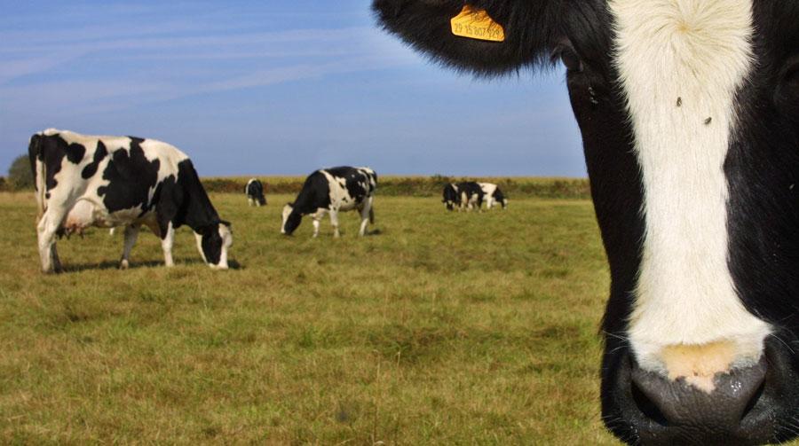 fakta om køer