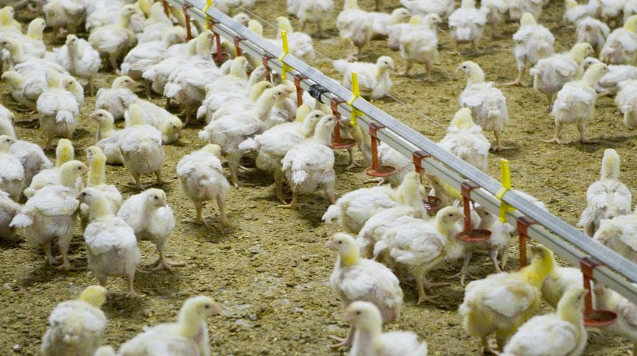 hvor mange kyllinger slagtes i danmark